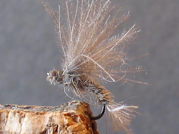 la mouche ANTCHOLA «… une émergente bourrue qui donne faim …»